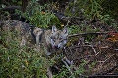 Retrato do lobo na floresta imagens de stock royalty free