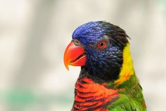 Retrato do lorikeet no aviary imagem de stock royalty free