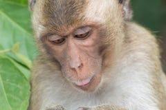 Retrato do macaco Fotos de Stock