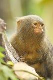 Retrato do macaco Imagem de Stock