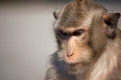 Retrato do macaco Fotos de Stock Royalty Free