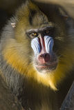 Retrato do macaco de Mandrill Fotos de Stock Royalty Free