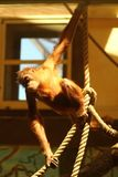 Retrato do macaco ensolarado engraçado do orangotango que pendura em cordas no jardim zoológico Foto de Stock Royalty Free