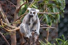 Retrato do macaco do lêmure - macaco eyed amarelo fotografia de stock royalty free