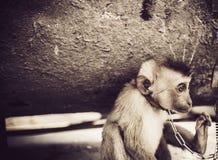 Retrato do macaco triste Foto de Stock