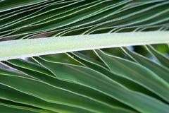 Retrato do macro da folha da palmeira Imagem de Stock Royalty Free