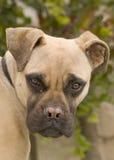Retrato do Mastiff de Bull Fotografia de Stock