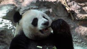 Retrato do melanoleuca gigante de Panda Ailuropoda que come o bambu vídeos de arquivo