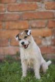 Retrato do ministro Russell Terrier Imagem de Stock