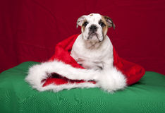 Retrato do Natal do filhote de cachorro do buldogue fotografia de stock