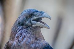 Retrato do norte do corvo Fotografia de Stock Royalty Free