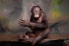Retrato do orangotango Imagem de Stock