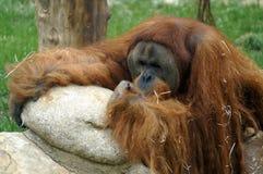 Retrato do orangotango - homem da floresta fotografia de stock