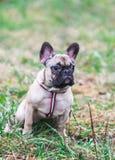 Retrato do outono de assento bonito do parque do cão pequeno de buldogue francês do cachorrinho imagens de stock