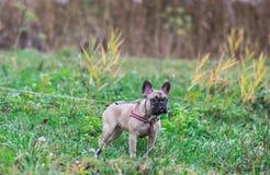 Retrato do outono de assento bonito do parque do cão pequeno de buldogue francês do cachorrinho imagens de stock royalty free
