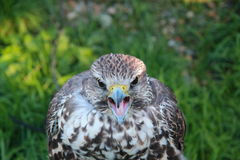 Retrato do pássaro do falcão Fotografia de Stock