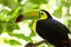 Retrato do pássaro Quilha-faturado do tucano fotografia de stock