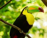 Retrato do pássaro Quilha-faturado do tucano fotos de stock royalty free