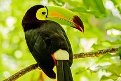 Retrato do pássaro Quilha-faturado do tucano foto de stock royalty free