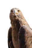Retrato do pássaro selvagem do predador da águia dourada Imagem de Stock