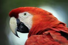 Retrato do papagaio Fotografia de Stock