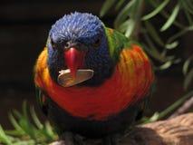 Retrato do papagaio Imagens de Stock Royalty Free