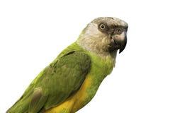 Retrato do papagaio de Senegal no fundo branco, trajeto de grampeamento foto de stock