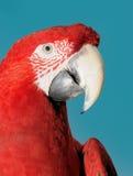 Retrato do papagaio do Macaw fotos de stock royalty free