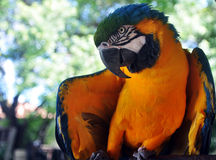 Retrato do papagaio do Macaw   Fotografia de Stock Royalty Free