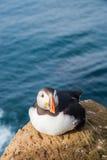 Retrato do papagaio-do-mar atlântico em Islândia Pássaro de mar que senta-se em uma rocha Imagens de Stock Royalty Free