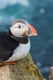 Retrato do papagaio-do-mar atlântico em Islândia Pássaro de mar que senta-se em uma rocha Foto de Stock Royalty Free