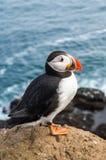 Retrato do papagaio-do-mar atlântico em Islândia Pássaro de mar que senta-se em uma rocha Fotos de Stock Royalty Free