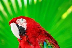 Retrato do papagaio vermelho da arara contra o fundo da selva Fotos de Stock