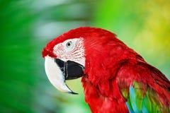 Retrato do papagaio vermelho da arara contra o fundo da selva Foto de Stock Royalty Free