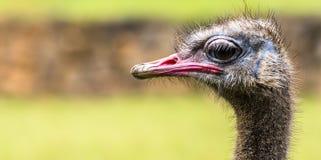 Retrato do parque da avestruz na Espanha Imagem de Stock