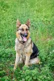 Retrato do pastor alemão do cão no assento completo no CCB foto de stock royalty free