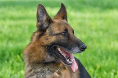 Retrato do pastor alem?o Dog imagens de stock royalty free