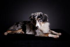 Retrato do pastor azul do Australian de Merle fotos de stock royalty free
