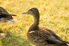Duck Portrait Foto de Stock Royalty Free