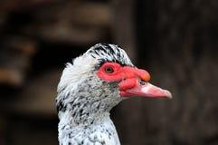 Retrato do pato do close up Imagens de Stock