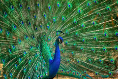 Retrato do pavão Foto de Stock Royalty Free