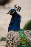 Retrato do pavão Imagens de Stock Royalty Free