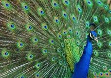 Retrato do pavão Fotografia de Stock Royalty Free