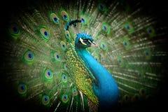 Retrato do pavão bonito imagens de stock royalty free