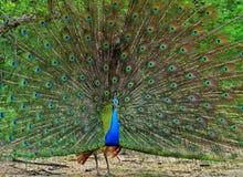 Retrato do pavão bonito com penas para fora Imagem de Stock