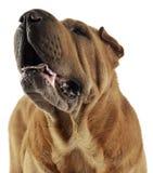 Retrato do pei de Shar no estúdio branco Imagem de Stock Royalty Free