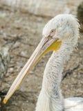 Retrato do pelicano Imagens de Stock