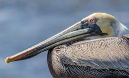 Retrato do pelicano Fotos de Stock