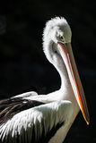 Retrato do pelicano australiano Fotografia de Stock Royalty Free