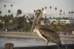Retrato do pelicano no cais do perto do oceano Imagens de Stock Royalty Free